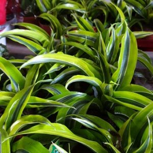 דרצנה למון – Dracaena Lemon Lime